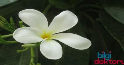 Bitki-Yasemin-Otu