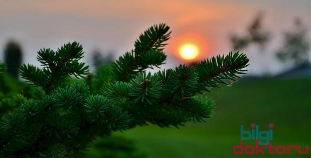Astım ve Bronşit Hastalıklarına Çam Ağacı Yaprağı Faydaları