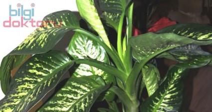 Evde Süs Bitkileri ve Çiçekleri Zehirlermi