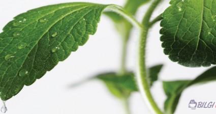 Stevia-Bitkisi-Nedir-Ne-ise-Yarar-ibrahim-Saracoglu