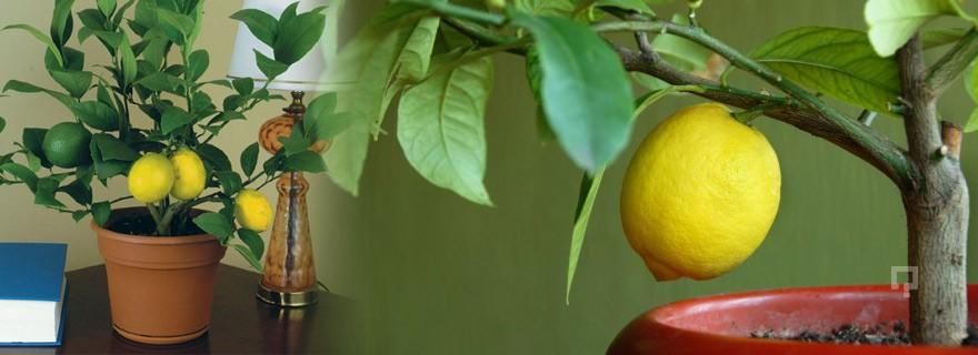 evde-saksida-limon-yetistirmek