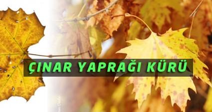 cinar-yapragi-kuru-ibrahim-saracoglu