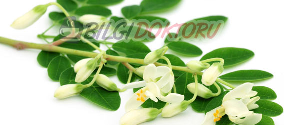 Moringa Oleifera Bitkisi Yaprağı