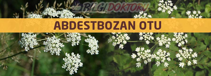 abdestbozan-otu-bitkisinin-faydalari