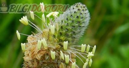Sinirli Ot Bitkisinin Faydaları ve Kullanımı