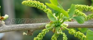 Mabet Ağacı (Ginkgo Biloba)